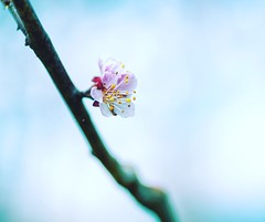 Tiny and lonely (Varvara_R) Tags: flower cherry spring blossom nikond800
