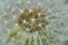 Dandelion Dream (daedmike) Tags: closeup garden weed zoom dandelion seeds pollen makeawish