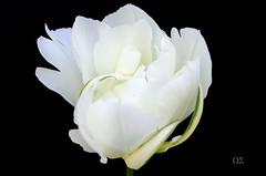 Tulpe (schmidtvossloch) Tags: germany nikon natur makro garten tulpe