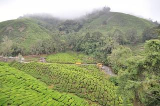 cameron highlands- malaisie 13
