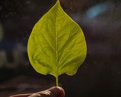Syrenen (Algots) Tags: sunlight green syren blad grön löv leav solljus fotosondag strktur fs160508