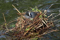 Coot Nest Building (NTG's pictures) Tags: park building cheshire nest country stockport coot etherow compstall