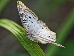White Peacock 01-20160526 (Kenneth Cole Schneider) Tags: florida miramar westbrowardwca