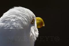 Larus fuscus (Gaviota Sombra) (raulmartinezbeneyto) Tags: espaa storm bird europa wildlife ngc aves alicante wf chanel discovery gaviota bresson wwf nationalgeographic birdlife raulmartinezbeneyto