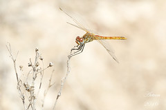 Sympetrum fonscolombii (aetven) Tags: espaa canon spain dragonfly canarias liblula sympetrumfonscolombii aetven