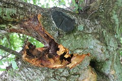 and the damage done (Moon Rhythm) Tags: trees pareidolia sad plum damage mybackyard plumtrees