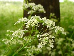 Anthriscus sylvestris (Jrg Paul Kaspari) Tags: white flower fleur wildplant blte trier weise anthriscussylvestris sylvestris anthriscus weis wildpflanze wiesenkerbel bltezeit moselradweg trierwest