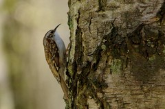 IMGP9315 Treecreeper, The Lodge, Sandy, April 2016 (bobchappell55) Tags: wild bird nature wildlife sandy reserve treecreeper thelodge rspb