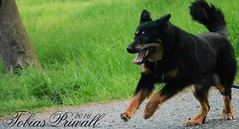Let the Dog jump (tobiaspriwall) Tags: summer dog black nature field evening photo nice jump nikon play shot time tobias priwall d5200 tobiaspriwall