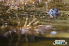 Abitante del Lac de Servaz...Abitante del Lac de Servaz... Rana temporaria (Val Chalamy, Parco Naturale Mont Avic, Valle d'Aosta)) (Sisto Nikon - CLICKALPS PHOTOGRAPHER) Tags: park mountain alps nature animals fauna natural wildlife parks amphibian natura frog rana mont valledaosta temporaria anfibi aostavalley avic champdepraz valledaoste graian parcodelmontavic valchalamy