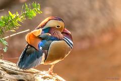 Mandarin Duck (Aix galericulata) - Tiger Trail - San Diego Zoo (Jim Frazee) Tags: mandarinduck sandiegozoo aixgalericulata tigertrail