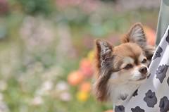 lovely chihuahua (snowshoe hare*) Tags: dog chihuahua bokeh botanicalgarden rosegarden babysling  dsc0614