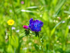 Meadow flowers (rgrant_97) Tags: portugal nature natureza abril alentejo fronteira alterdocho