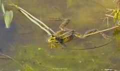2016-05-06 - 15.28.53 - _L5B2103 - 1 (Rossell' Art) Tags: pad frog toad sapo rana frosch grenouille kikker rano bufo r krte crapaud  rospo doodebemde batracien