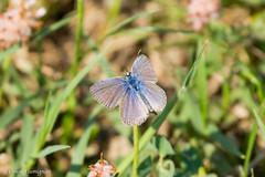 Blue Butterfly. Farfalla blu. (omar.flumignan) Tags: blue flower macro canon butterfly eos blu ngc 7d fiore farfalla ef100400f4556lisusm allnaturesparadise