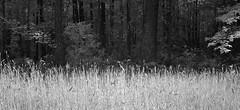 The Woods are Lovely, Dark and Deep (Neal3K) Tags: bw sunlight white nature dark georgia ir blackwhite woods robertfrost hay contrasts infraredcamera stoppingbywoodsonasnowyevening henrycountyga kolarivisionmodifiedcamera