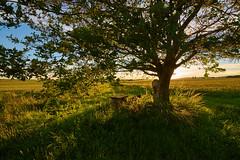 at the oak tree (Guido F.J. Ehlers - gfje) Tags: sony900 sony sal1635z tree baum field feld clouds landscape landschaft sky himmel sunset outdoor