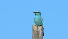European Roller, Coracias garrulus, Carraca Europea (http://www.birdingtrekkingandnature.com/) Tags: