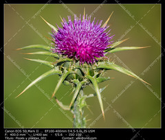 Thistle (__Viledevil__) Tags: summer espaa brown plant flower green nature season countryside leaf weed purple natural thistle seasonal sharp pistil petal stamen backgrounds spike prick thorn cdiz cocklebur spiked rota thorny