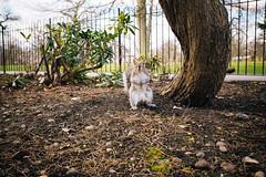 Hey you! (lorenzoviolone) Tags: england tree london animal garden squirrel unitedkingdom greenwich finepix fujifilm attention pinetrees searching greenwichpark standingup fujiastia100f fav10 fav25 payingattention mirrorless squirrelstanding fujix100s x100s fujifilmx100s travel:uk=londonapr16