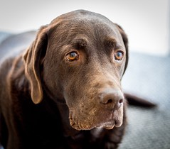 Sad Sam (Brannan Photography) Tags: family portrait dog pet brown home mutt lab labrador chocolate hound moment k9 chocolatelabrador petportrait