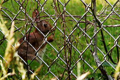 Bunny 05-29-16 (MelenaMe) Tags: bunny rabbit animal nature outdoors fence chainlinkfence weeds twigs leaf