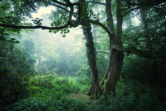 Sherringham Woods - 30/05/2016 (Matthew Dartford) Tags: morning trees england mist tree overgrown leaves silhouette misty fog backlight forest woodland leaf woods colorful branch framed branches norfolk foggy frame trunk layers backlit colourful curve twigs depth atmospheric eastanglia happisburgh felbrigg breakinglight lowlevelmist
