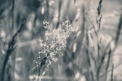 the little whispers (***toile filante***) Tags: blackandwhite bw grass dof bokeh meadow wiese calm silence gras schwarzweiss emotions stille ruhe ruhig gefhl