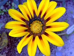 Yeeellow Gazania (Ramona R***) Tags: flower macro fleur closeup jaune flor blumen yellowflower amarillo gazania fiore yelllow floramarilla fleurjaune petales fantasticflower mimamorflowers awesomeblossoms doublefantasy
