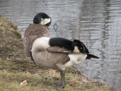 Canada Geese Preening (Padeia) Tags: park lake canon germany see geese zoom preening goose gans grooming canadagoose brantacanadensis canadageese mnchengladbach 2012 kanadagans kanadagnse gnse publicpark gefiederpflege padeia bellerpark