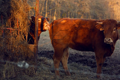 (Sarah Belin) Tags: winter nature animal animals canon fun eos 50mm golden countryside cows burgundy hiver hours animaux bourgogne campagne insolite vaches faune nièvre magichours 1000d