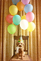 happy leap year 2012 !!! (girl enchanted) Tags: red dog cute balloons puppy toy balloon cutie curly poodle doggy toypoodle poodlepuppy redpoodle
