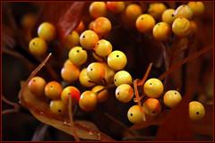 Winter Berries (Brian 104) Tags: red yellow berries display flickrduel ilobsterit