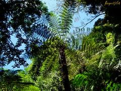 ein Relikt aus der Urzeit (flieger1964) Tags: flora forrest natur australia australien wald regenwald baumfarn bluemountins