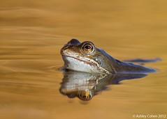 Common Frog - Swimming in Gold (Ashley Cohen Photography) Tags: macro nature animal wildlife small amphibian britishwildlife northwales commonfrog unitedkingdomuk canoneos7d rhydymwynvalleynaturereserve sigma120300mmf28exdgoshsm sigma2xteleconverterapoexdg