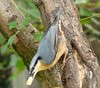 A Little Nutty. (Church Mouse 07) Tags: uk winter wild bird british nuthatch churchmouse07