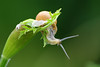 Eye See You (Vie Lipowski) Tags: nature wildlife snail wildflower keck cowparsley anthriscussylvestris wildchervil wildbeakedparsley detritivore starekoluszkipoland