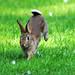 Rabbit Notts WT (cpt Amy Lewis)