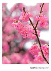 My day () Tags: macro 50mm bokeh olympus cherryblossom sakura zuiko e30