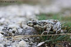 Pelodytes punctatus I (David Herrero Glez.) Tags: madrid frog toad amphibians rana común anfibios iberico punctatus sapillo anuros pelodytes moteado alytes