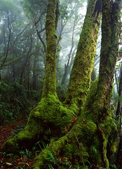 Antarctic Beech Tree Lamington QLD