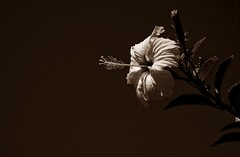2.873 - A little bit artsy-fartsy... (Ricardo Cosmo) Tags: 2001 trip brazil flower brasil dark flor july hibiscus bahia hibisco viagem salvador artsyfartsy julho escuro stellamaris ricardocosmo olympusepl1 mzuikodigital1442mm