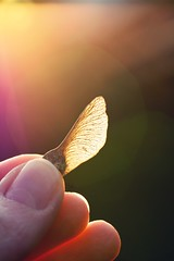 Autumn souvenir (ms holmes) Tags: light sunlight backlight colours fingers backlit nase mapleseed gegenlicht samen ahorn sonnenlicht canoneos1000d autumnmeetsspring