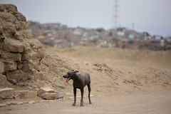 Peruvian Hairless Dog (Alex E. Proimos) Tags: dog home peru tongue hair out lost needs hairless without perito pero peruvian