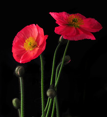 Icelandic Poppies (Bill Gracey) Tags: lighting flowers light red flower macro green fleur colors photography shadows flash flor shapes salmon sharp depthoffield textures softbox icelandicpoppy cls studiolighting macrolens macrophotography mohn homestudio strobes amapolas coquelicots directionallight creativelightingsystem pavots nikoncls tabletopphotography superaplus aplusphoto