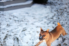 CAN'T CATCH ME!!! (i ea sars) Tags: winter portrait rescue dog pet snow motion cold macro dogs nature face weather goofy animal yard canon puppy fun nose snowflakes 50mm jump jumping mutt eyes puppies funny dof action bokeh shepherd snowy expression pastel hiver young thoughtful ears running pitbull perro boxer pro 5d nik invierno saltando snowing shelter creature adopted adopt leap playful zima mascota rescued pes petrait canon50mm canonef50mmf14usm saltar  efex canoneos5dmarkii 5dmarkii 5dii 5dmkii canoneos5dmkii highqualitydogs