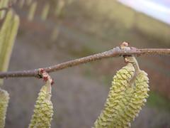 3284 filbert bloom (growing hazelnuts) Tags: flowers filbert