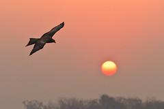Eagle at Sunrise (Neha & Chittaranjan Desai) Tags: india birds sunrise eagle gujarat surat