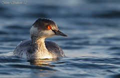 Black-necked Grebe -    () Tags: black bird birds bin sultan grebe qatar  birdwatchers necked blacknecked