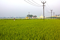 ..... (Ragavendran / Rags) Tags: life india man green nature field rural canon walking wire village rice post paddy walk wires electricity fields ricefield chennai tamilnadu cwc ruralindia gogreen greenindia greenchennai ragavendran